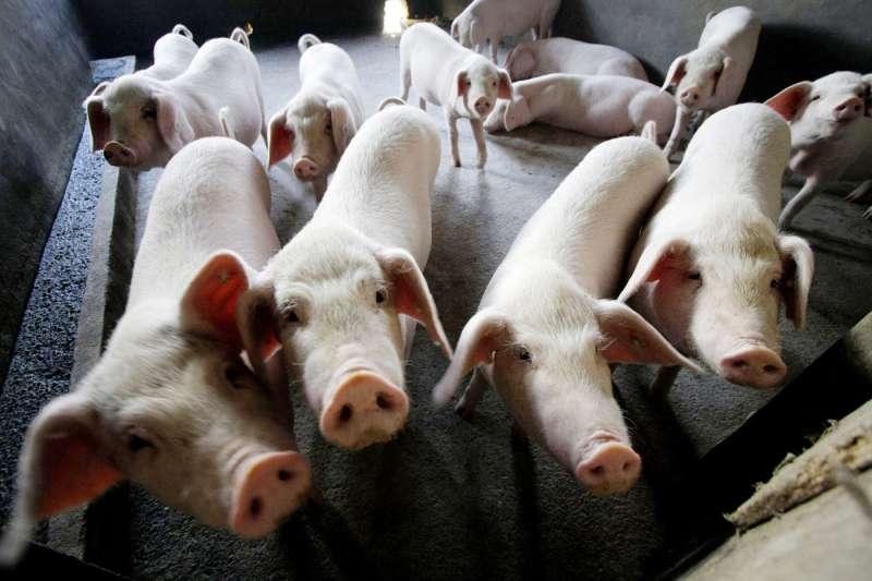 中國近年「非洲豬瘟」疫情大流行,衝擊鄰近國家與地區(AP)