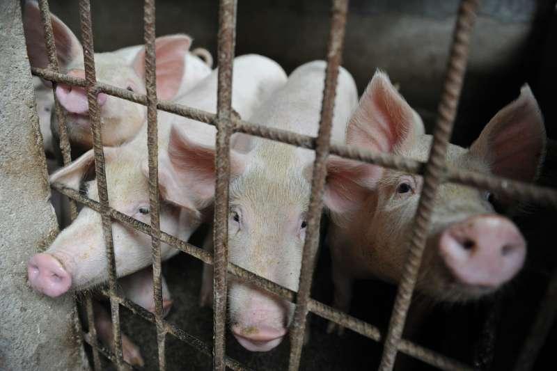 非洲豬瘟再蔓延。中國農業農村部7日發布,西藏自治區林芝市發生非洲豬瘟疫情。目前31個省市自治區僅剩下海南島,尚未傳出豬瘟疫情。示意圖。(資料照,AP)