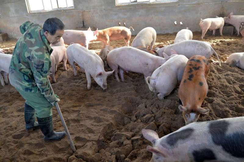 中國「非洲豬瘟」疫情大流行,衝擊鄰近國家與地區(AP)