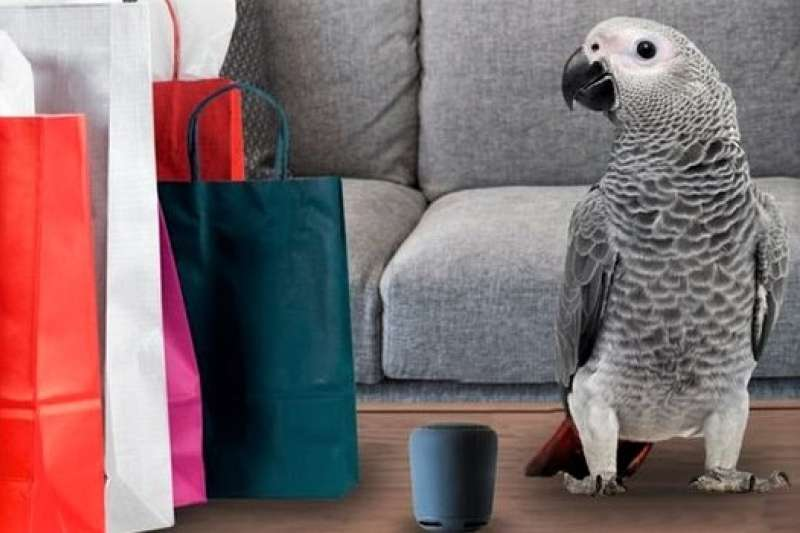 非洲灰鸚鵡以聰明和詞匯量大、語言模仿能力強著稱,英國一隻聰明的灰鸚鵡還學會了用Alexa,每天和語音助理閒聊、訂網購。(圖/Getty Images,BBC提供)