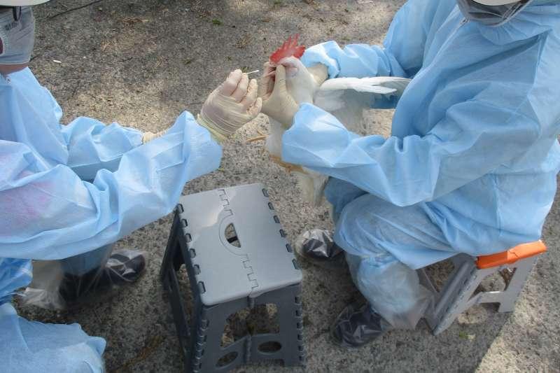 禽流感病毒可能伺機感染禽隻,養禽戶必須做好禽舍保暖措施及通風措施,以防禽流感發生。(圖/屏東縣政府提供)