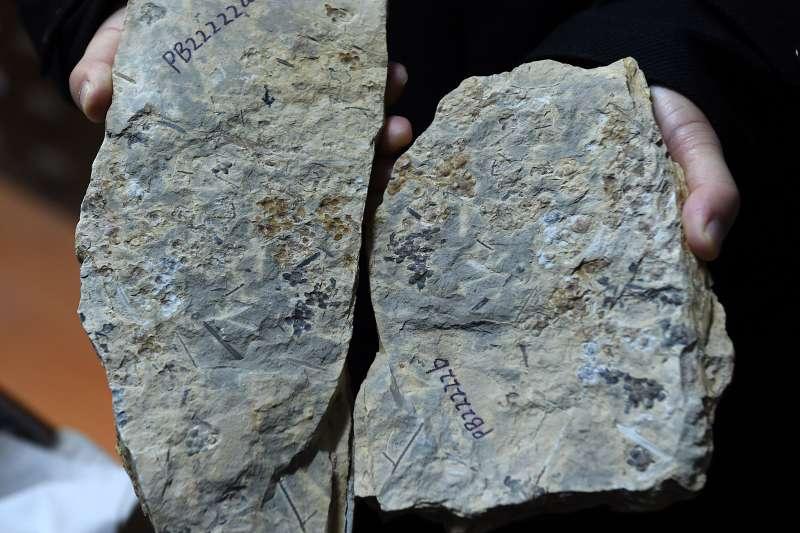 中國科學院南京地質古生物研究所工作人員展示「南京花」化石剖開後的兩面(新華社)