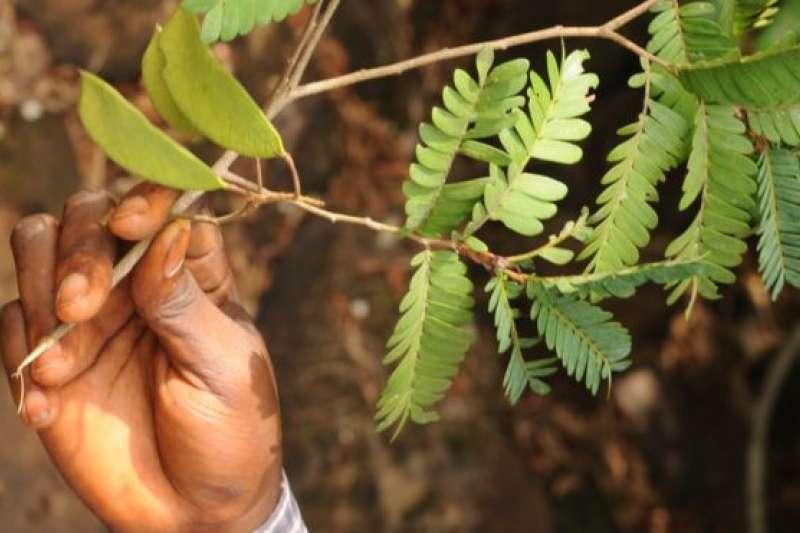 幾內亞雨林的樹(BBC中文網)