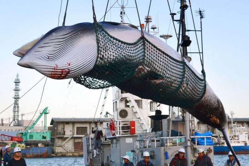 2017年9月,日本北海道的捕鯨船正在卸下一隻小鬚鯨。(AP)