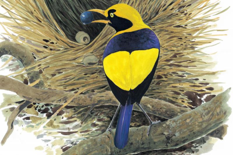 外型亮麗的紫背園亭鳥,亭巢的建築技巧比外型樸素的園亭鳥遜色多了,不過他們還有其他吸引雌鳥之能事,例如大聲鳴唱、舒張羽毛、或興奮地在走道來回跳求偶舞蹈。(商周出版提供)