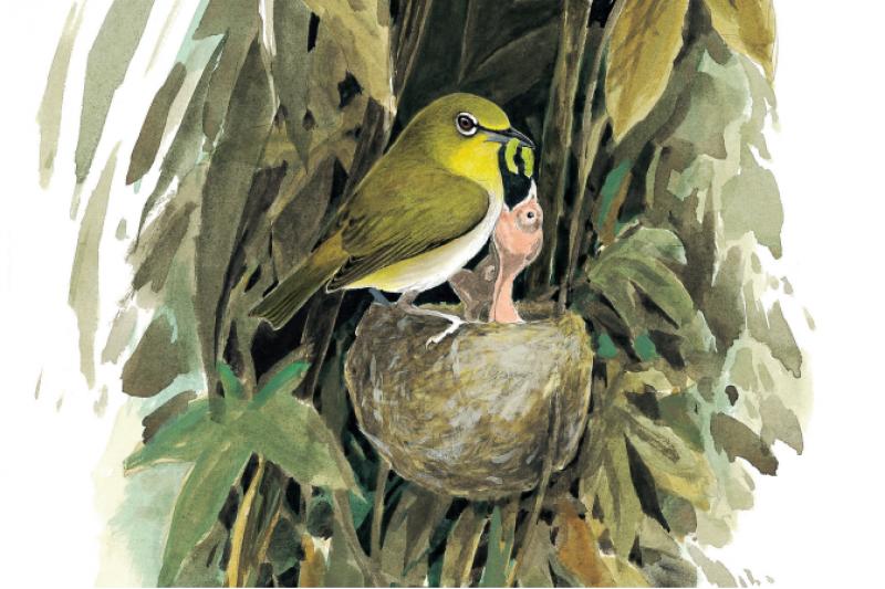綠繡眼可以在許多地方築巢,甚至在陽台上滿是棘刺的九重葛枝葉間,也可以發現牠們築的精緻小窩,牠們擅用蜘蛛絲來築巢。(商周出版提供)