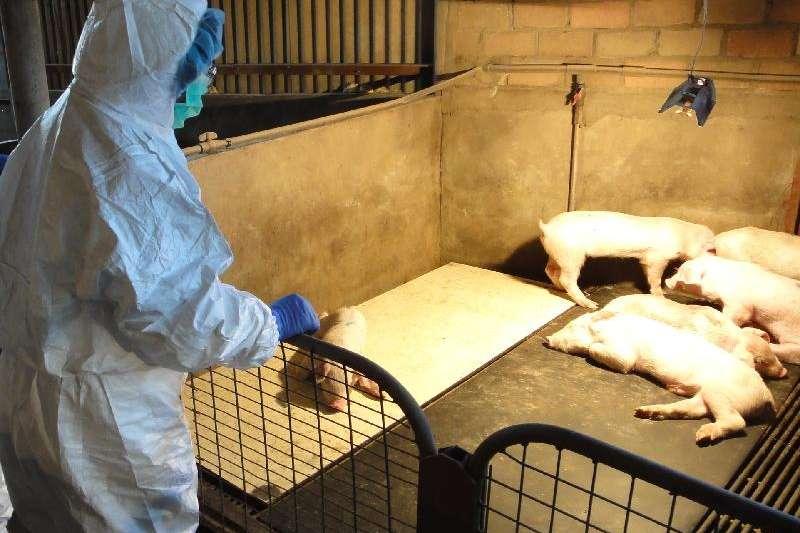 中國非洲豬瘟疫情日趨嚴重(示意圖,取自網路)