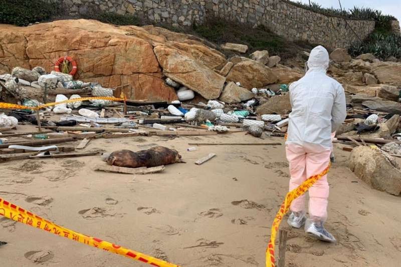 金門田浦海邊發現從中國漂過來的死豬,經過檢驗含非洲豬瘟病毒。(金門岸巡隊提供)