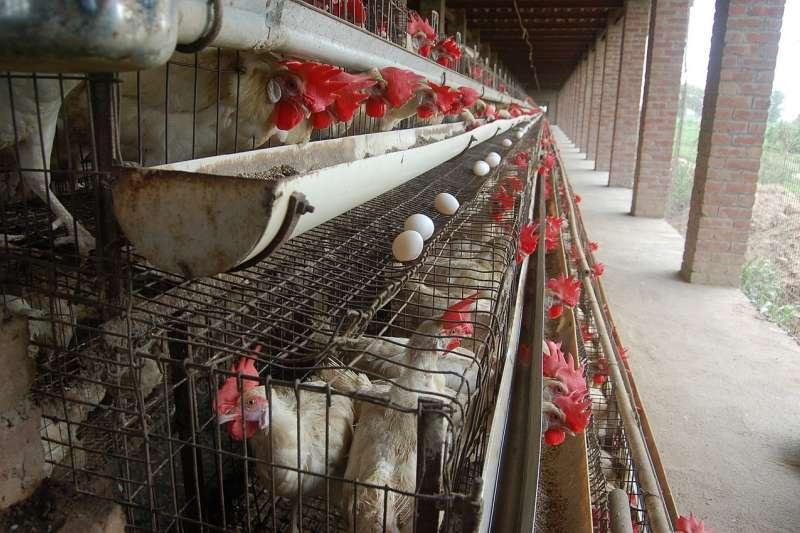 先有雞,還是先有雞蛋的問題之所以使人困惑,是因為把雞看為一成不變的動物,鳥和蛋週而復始的循環,使人找不到這個問題的答案。(Sangamithra Iyer and Wan Park@Wikipedia / CC BY-SA 3.0)