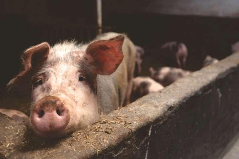 中國開始管好自己的豬了?推出「豬臉辨識」技術,想帶動養豬產業升級。(圖/pexels)