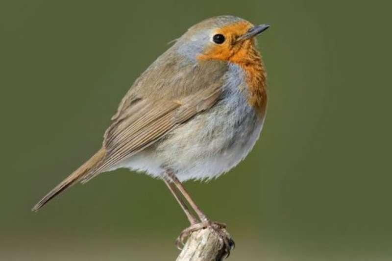 英國人將大多數住在歐洲的知更鳥評為國鳥。在中國,知更鳥非常罕見的。2019年這次是第三次在北京發現的知更鳥。它幾周後還將返回故鄉。(BBC中文網)