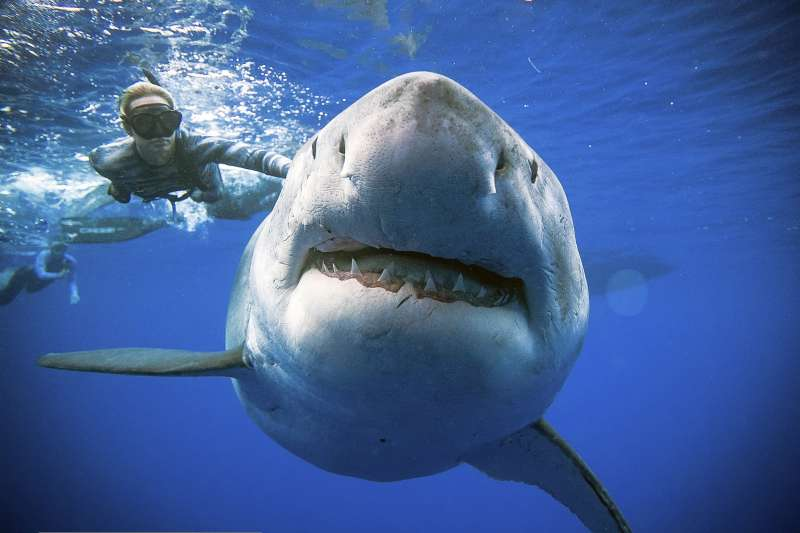 2019年1月,夏威夷海洋保育人士拉姆齊(Ocean Ramsey)潛入歐胡島(Oahu)海域觀察虎鯨生態,巧遇覓食中的大白鯊。(AP)