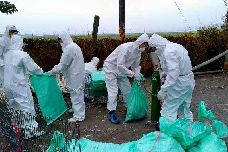 屏東縣里港鄉一間肉鴨場21日也出現H5N2確診案例。(屏東縣動物防疫所提供)
