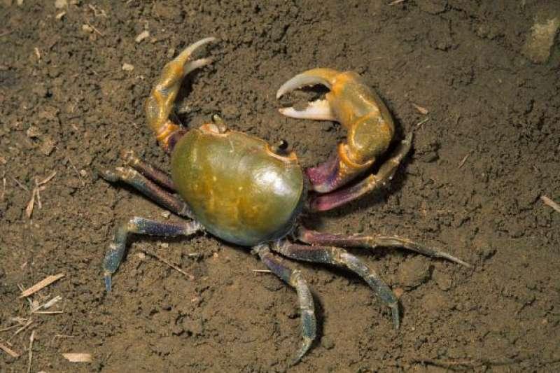 台灣南海溪蟹。(陳建宏攝,取自《臺灣生物多樣性資訊網-TaiBIF》/CC BY-NC)