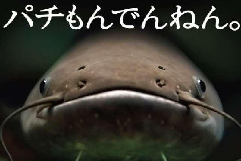 為何日本的大學宣傳廣告上只放一隻大鯰魚呢?(圖/今周刊提供)
