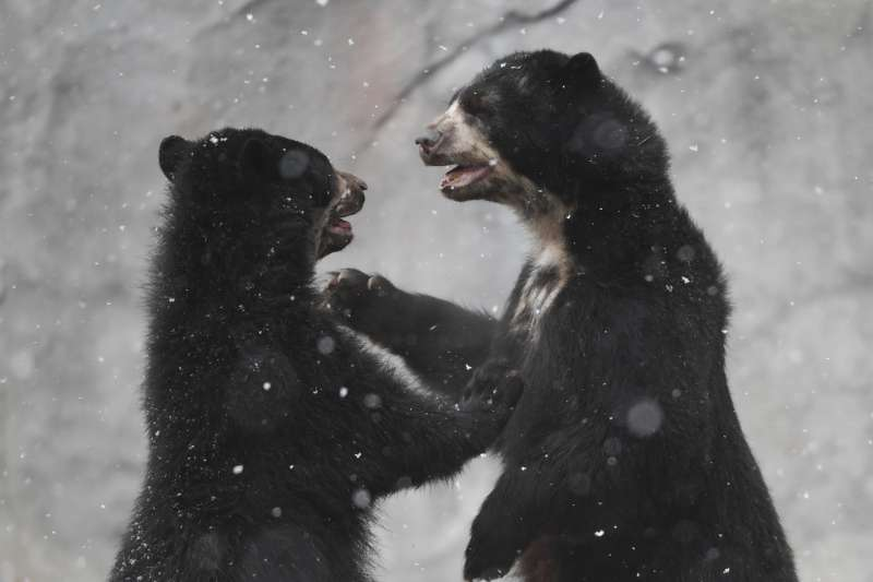 美國3歲男童失蹤,還在0度以下低溫度過2天,說是有隻黑熊作伴。圖為德國法蘭克福動物園內的黑熊(AP)