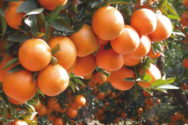 20190130-羿雯春節留稿配圖-柑橘示意圖。圖為海梨柑。(農糧署提供)