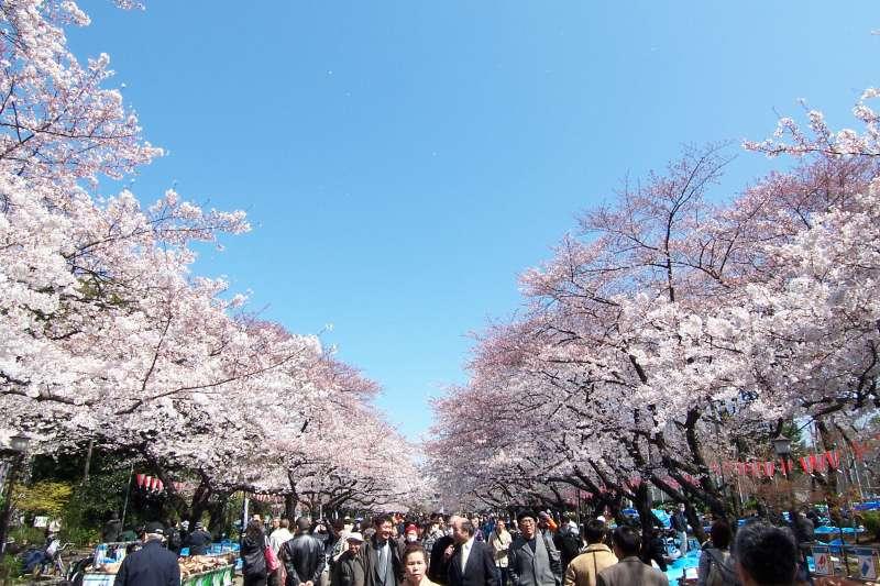 東京上野公園的櫻花。(溫芳瑜攝)