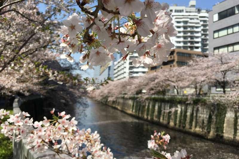 東京大崎目黑川畔的櫻花。(吳仕強攝)