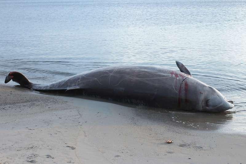 常聽見鯨魚不明原因集體擱淺慘死的消息,現在科學家終於有解答了。原來是牠們被海軍聲納嚇到忘了怎麼安全潛水,慌到太快上浮,得了潛水夫症而亡。所以擱淺鯨魚的外觀通常都一切正常,解剖才發現牠們的靜脈充滿氮氣氣泡,大腦出血損傷……(圖/Silver Leapers@flickr)