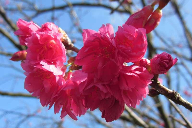 20190202-陽明山春天花季報到,圖為八重櫻。(台北市政府提供)