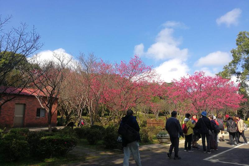 20190202-陽明山春天櫻花祭報到。(台北市政府提供)