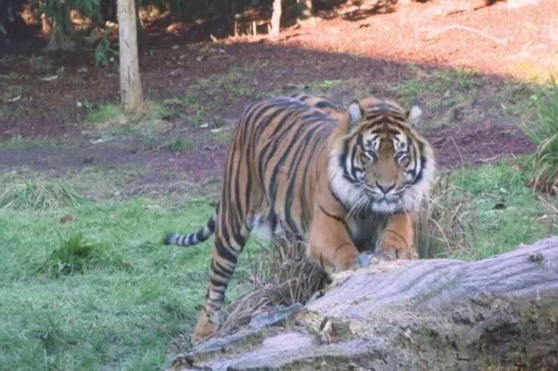 英國倫敦動物園蘇門答臘虎亞森。(AP)