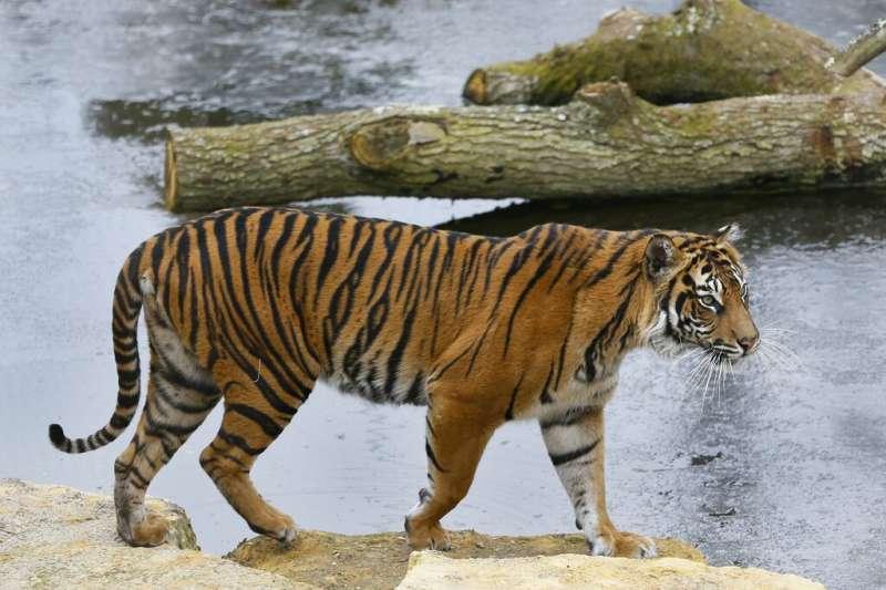 英國倫敦動物園蘇門答臘虎瑪拉提不幸喪命。(AP)