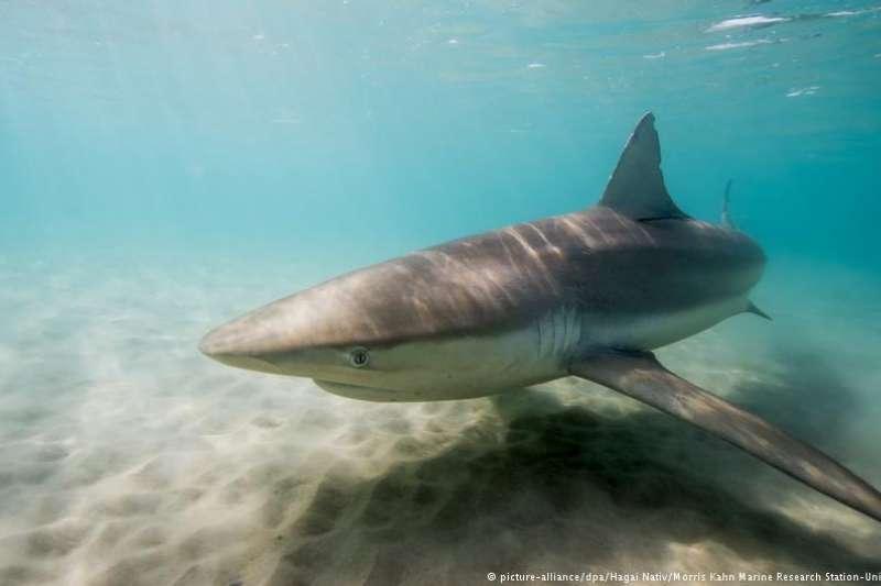 從2018年11月開始,有大量的鯊魚聚集於以色列的海灘(DW)