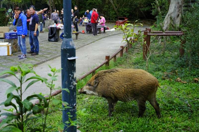 香港爆發野豬危機。 (AP)