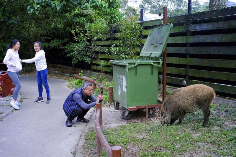 香港野豬。 (AP)