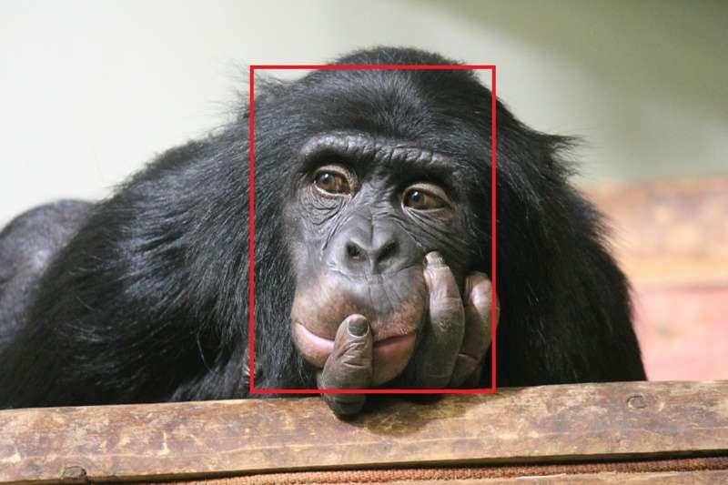 專家們合作開發的「猩臉辨識」系統 ChimpFace,應用於社交網路上,查找被非法販運到各地的黑猩猩。(圖/*CUP)