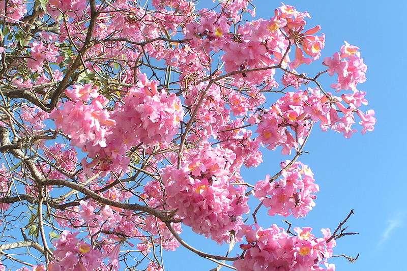賞花客說,嘉義高鐵大道旁的洋紅風鈴花「很大朵,花團錦簇,很美」,且下垂的枝條伸到圍牆外,「非常有fu」。(示意圖/wikimedia commons)