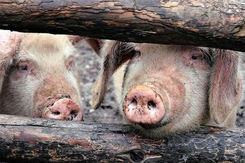 據新華社報導,中國農業農村部研判,中國因非洲豬瘟影響,豬肉價格已提前進入上漲週期,可能持續漲至2020年,並預測今年第4季可能創下歷史新高。(資料照,取自Pixabay)