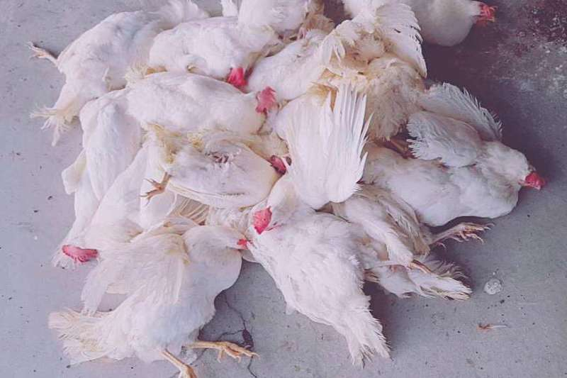去去年「海藍」蛋雞種雞場接種疫苗失敗,數百萬隻蛋雞感染馬立克病毒死亡。(照片提供/蛋農)