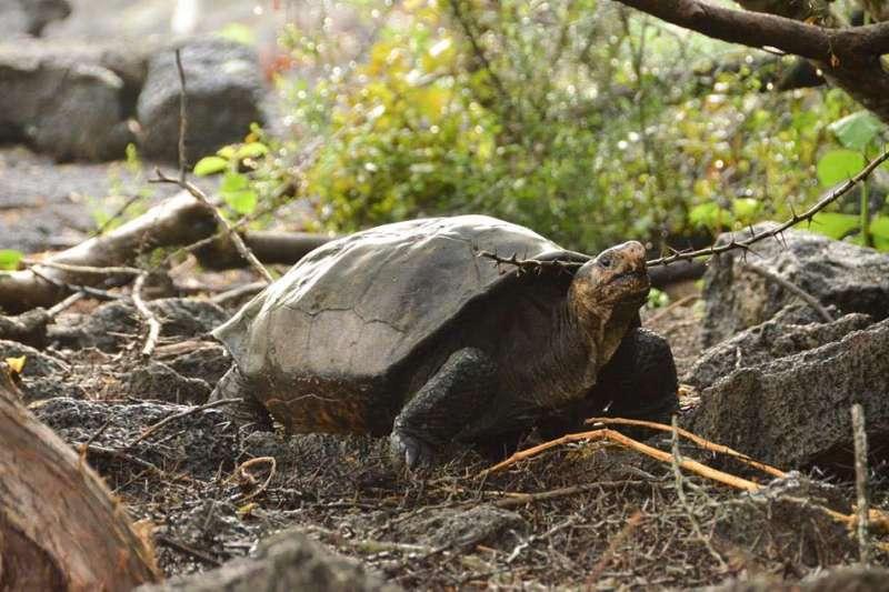 一種112年未見、科學家以為已經絕種的巨龜,竟然突然現身加拉巴戈斯群島……(圖/Galapagos Conservancy臉書粉專)
