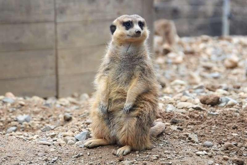 只要望著喜愛的動物就好。園長瀧川直史對此推薦的是狐獴,他說「牠們曬太陽的模樣很療育」(圖/潮日本)
