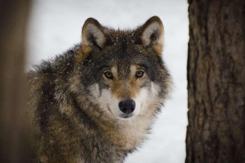 美國皇家島狼群數量銳減,科學家搬救兵空降4隻加拿大野狼。(Wilda3@pixabay)