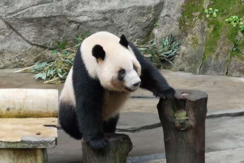 高雄觀光局長潘恆旭在個人臉書貼出3張貓熊照片,並證實重慶動物園有意贈送2隻貓熊給壽山動物園。(取自潘恆旭臉書)
