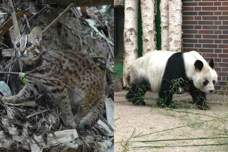 有媒體報導「石虎很兇猛、貓熊很可愛」是真的嗎?石虎保育協會說話了……(圖/取自維基百科)
