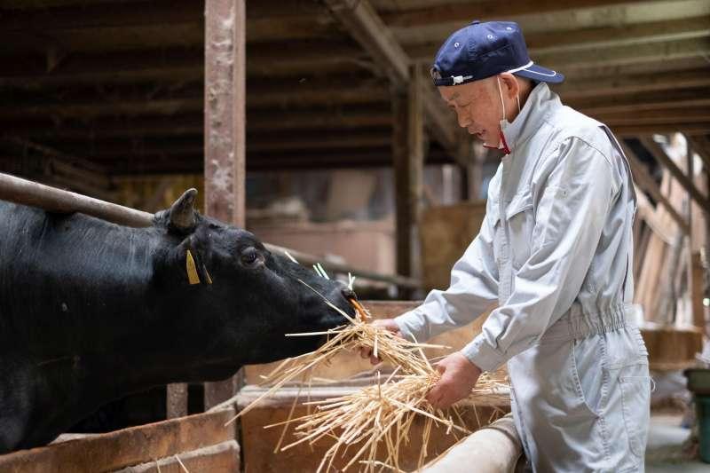 對於牛隻的養育,松田先生用了畢生的心力投注著。
