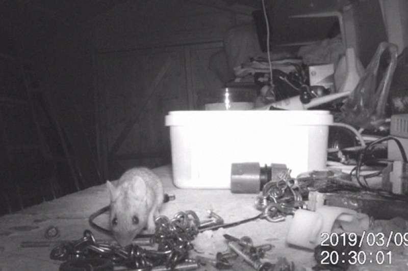 一隻勤奮不懈的小老鼠每天晚上都將桌上的所有工具放回工具盒裡,連重量最重、體積最大的塑膠水管接頭和電鑽鑽頭都不放過。(圖/截自YouTube)