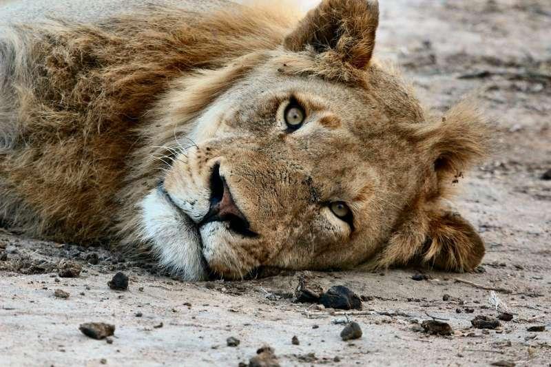 最新研究指出,棲息於非洲的獅子,百年間基因多樣性大幅減低,對物種的延續相當不利。(取自pixabay)
