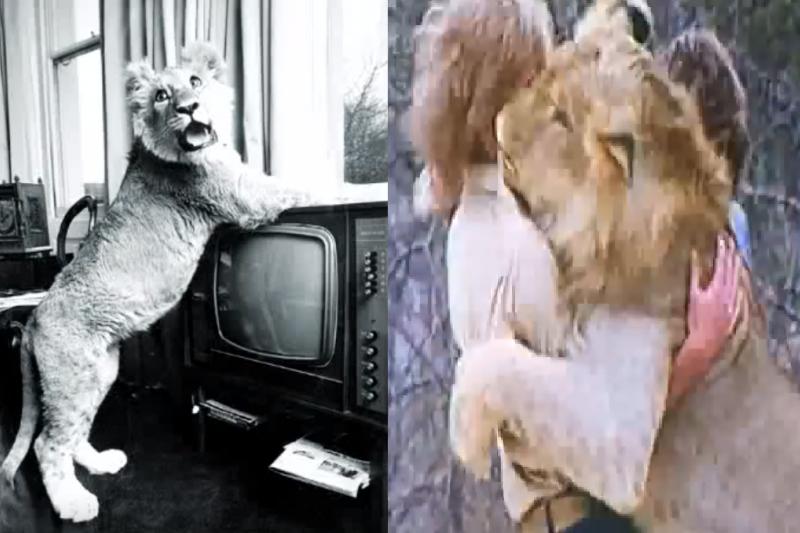 上世紀60年代,有2名澳洲青年在百貨公司買下1隻小獅子,照顧了牠一段時間後野放。而2年後當他們在見到彼此,感人的重逢畫面轟動全球。(圖/取自youtube)
