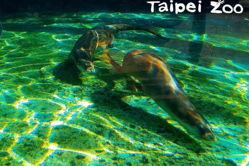 台北市立動物園的歐亞水獺「金莎」於9日再產一子。(資料照,台北市政府提供)