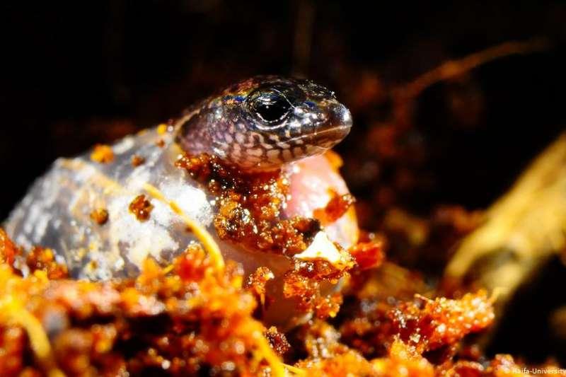 一種學名為「三趾石龍子」(Saiphos equalis)、主要生活在澳洲東海岸的蜥蜴(DW)