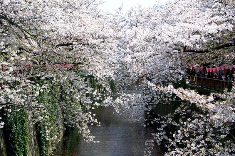 日本賞櫻最人氣景點「目黑川」。(圖/想想論壇提供)