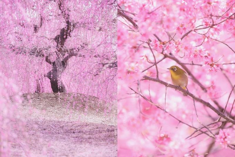 每到了日本櫻花季,臉書、IG一滑全是大家的櫻花美照,但你有看過拍得這麼夢幻的系列嗎?(圖/ui_hii618love @ig)