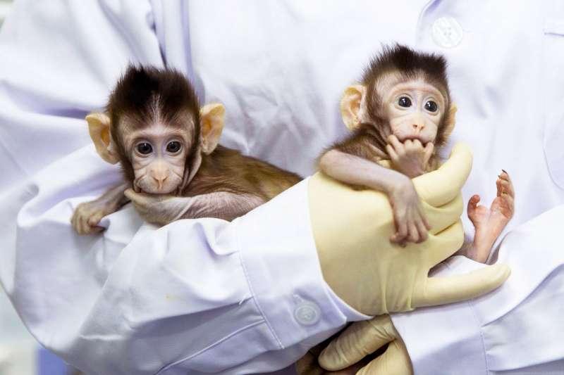 中國的複製猴。(新華社)
