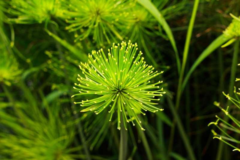 矮紙莎草為多年生挺水型草本植物,葉子呈亮綠色輻射狀展開。(台北市政府提供)